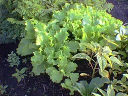 goldag green salad and herbs