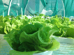 dewponics green salad